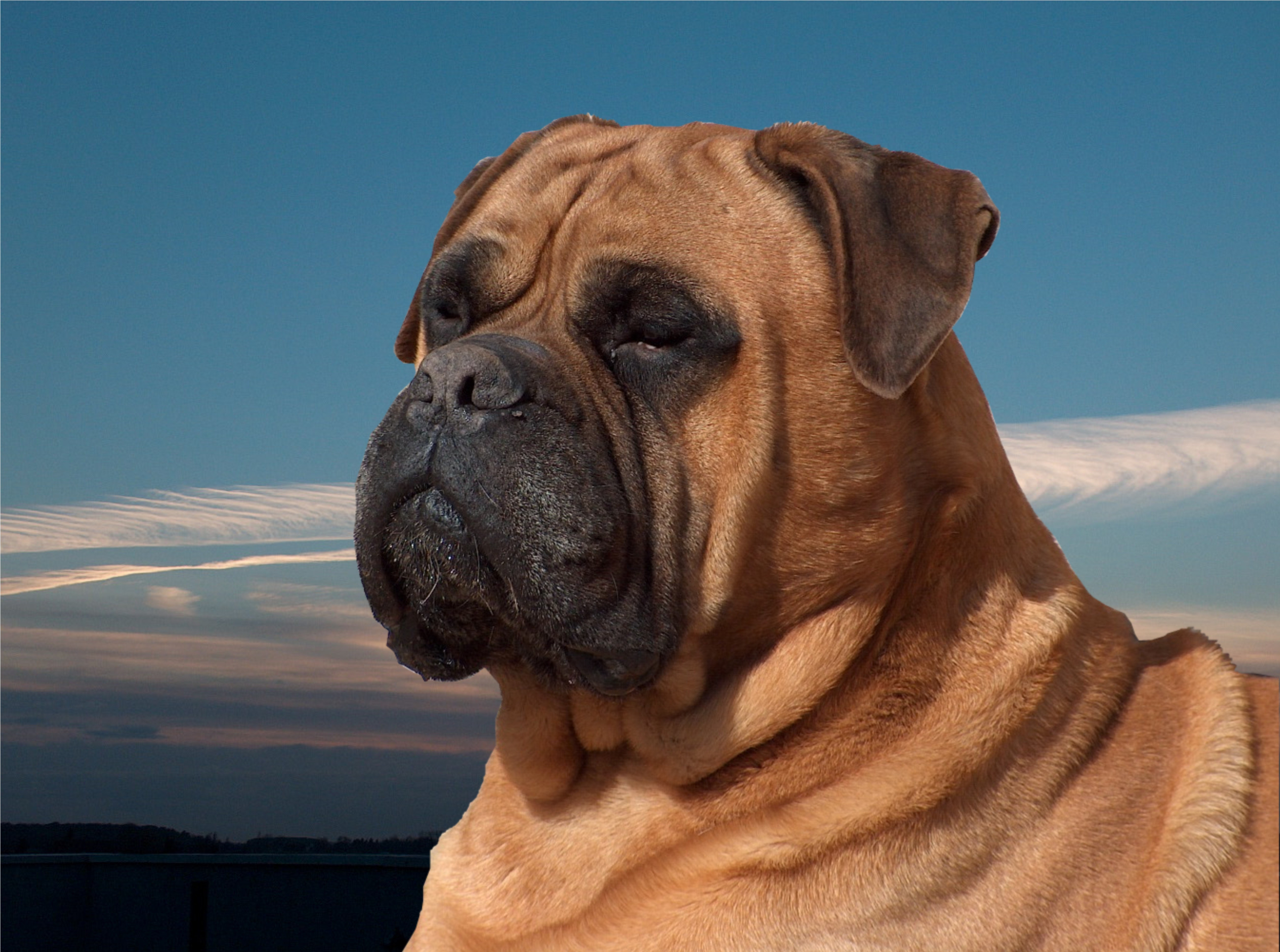 Bullmastiff Pictures To Pin On Pinterest